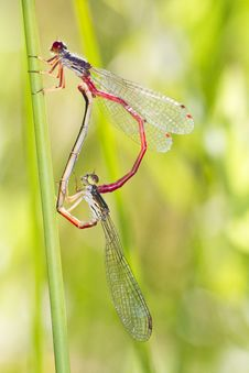 Two Small Red Damselfly &x28;Ceriagrion Tenellum&x29; Mating Royalty Free Stock Photo