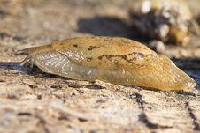 Free Parmacella Valenciennii Slug Stock Image - 26855811