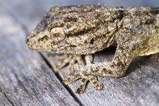 Moorish Gecko &x28;Tarentola Mauritanica&x29; Royalty Free Stock Photography