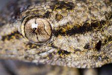 Moorish Gecko &x28;Tarentola Mauritanica&x29; Royalty Free Stock Photo