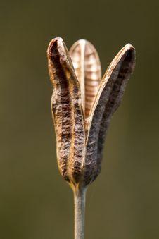 Free Empty Seed Capsule Pod Stock Image - 26856381