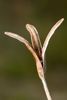 Free Empty Seed Capsule Pod Stock Images - 26856384
