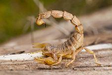 Free Buthus Scorpion Stock Image - 26856531
