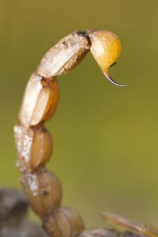 Free Buthus Scorpion Sting Tail Stock Photography - 26856682