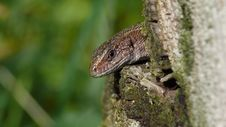 Free Lizard Royalty Free Stock Photo - 26856755