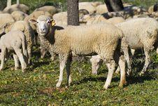 Free Herd Of Sheep Royalty Free Stock Image - 26858206