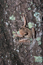 Free Frog On A Tree Stock Image - 26865201