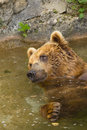 Free Brown Bear Taking A Bath In The Lake. Royalty Free Stock Photo - 26868685