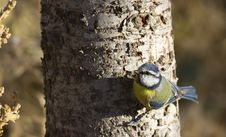 Free Blue Tit On A Tree Trunk Stock Photography - 26860442