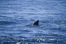 Free Wild Dolphins Royalty Free Stock Photo - 26860595