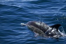 Wild Dolphins Royalty Free Stock Image
