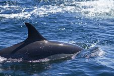 Wild Dolphins Stock Images