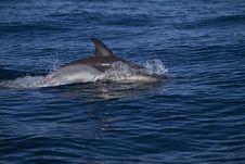 Free Wild Dolphins Stock Photo - 26860800