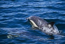 Free Wild Dolphins Royalty Free Stock Image - 26860916