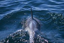 Wild Dolphins Royalty Free Stock Images