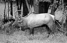 Free Elk Stock Images - 26863894