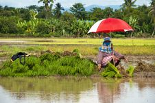 Free Farmers Working Planting Rice In The Paddy Field Royalty Free Stock Photography - 26866377