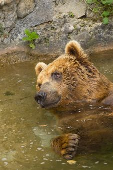 Brown Bear Taking A Bath In The Lake. Royalty Free Stock Photo