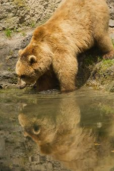 Brown Bear Taking A Bath In The Lake. Stock Photo