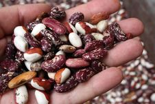 Free Kidney Beans On The Hand Stock Image - 26869181