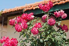 Free Beautiful Pink Roses Stock Photos - 26869883
