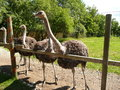 Free Three Ostriches Royalty Free Stock Photo - 26875735