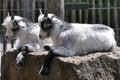 Free Twin Goats Royalty Free Stock Photos - 26876358