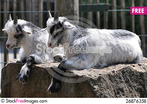Free Twin Goats Royalty Free Stock Photos - 26876358