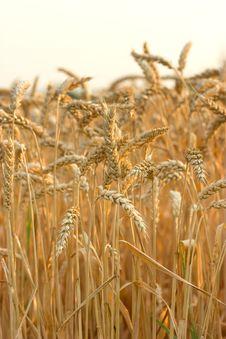 Free Wheat Field Stock Photography - 26876122