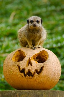 Free Halloween Meerkat Royalty Free Stock Images - 26877109