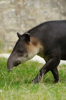 Free Central American Tapir Stock Images - 26877114