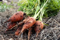 Free A Bunch Of Carrots Stock Photography - 26882262