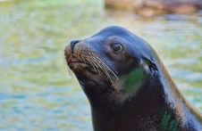 Free Sea Lion Stock Photography - 26881352