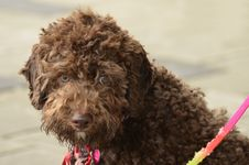 Free Poodle Looking Towards You Royalty Free Stock Photography - 26883897
