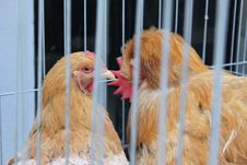 Free Hens Captive Stock Photos - 26887553