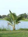 Free Coconut Tree Royalty Free Stock Photo - 26890225