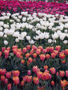 Free Tulip Farm Royalty Free Stock Images - 26896529