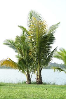 Free Coconut Tree Royalty Free Stock Photography - 26890287