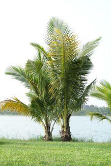 Free Coconut Tree Royalty Free Stock Photography - 26890287