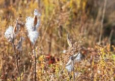 Free Milkweed Stock Photography - 26891612