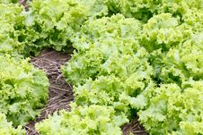 Field Of Green Fresh Lettuce Growing At A Farm Stock Image