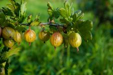 Free Gooseberry Royalty Free Stock Images - 26894609