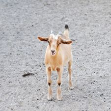 Free Beige Goat Standing Stock Photography - 26896772