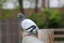 Free Pigeon Royalty Free Stock Photo - 26898475