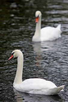 Free Swans Stock Photos - 26899153