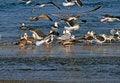 Free Slaty-backed Gulls Royalty Free Stock Photos - 2693808