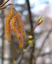 Free Hazel Catkins Royalty Free Stock Photo - 2697625