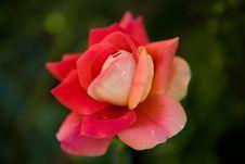 Free Wet Rose Stock Photo - 2690160