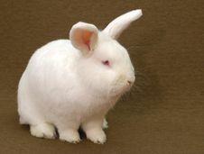 Free White Rabbit Stock Photography - 2691042