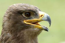 Free Eagle Royalty Free Stock Photos - 2691278